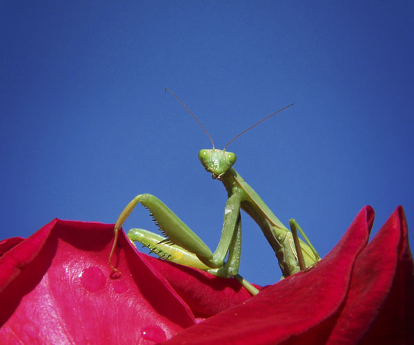 Praying mantis in rose