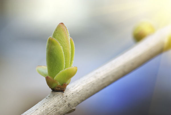 Tree branch with tiny green bud