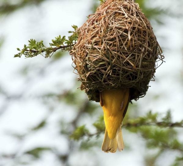 Weaver building a nest