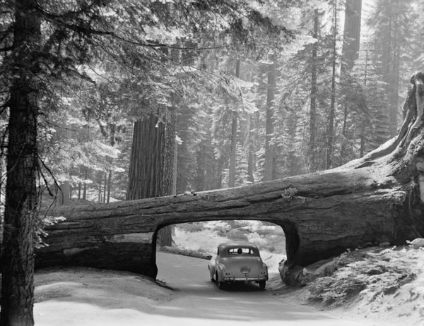 Car driving through giant redwood tree