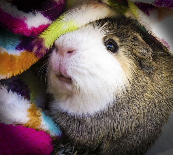 Cute guinea pig under covers