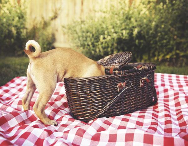 Dog digging into picnic basket