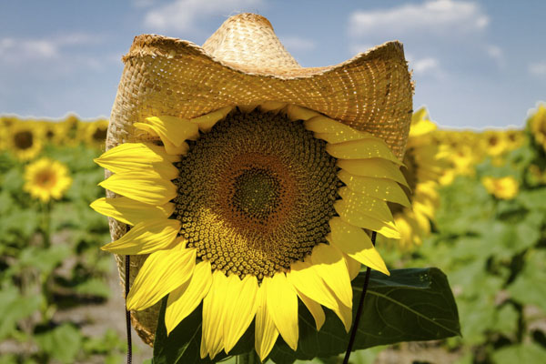Sunflower with cowboy hat