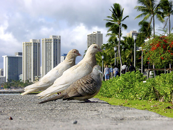Three pigeons watching tourists in Waikiki