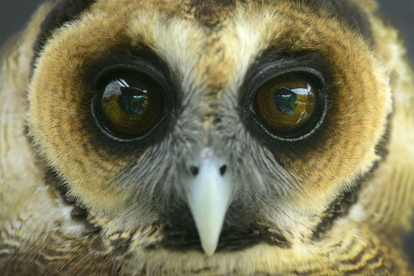 Owl with big eyes
