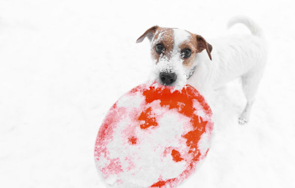 Dog with frisbee in snow