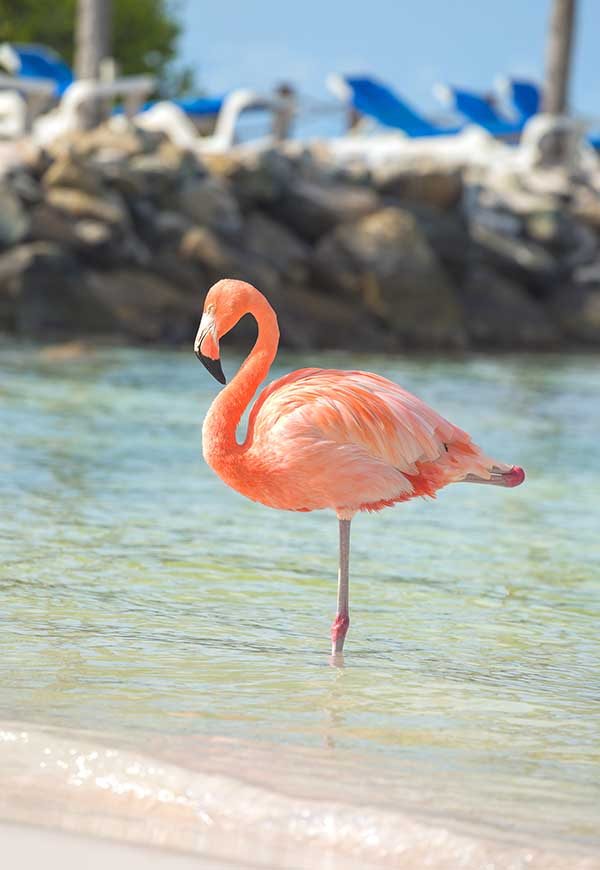 Flamingo on one foot at beach