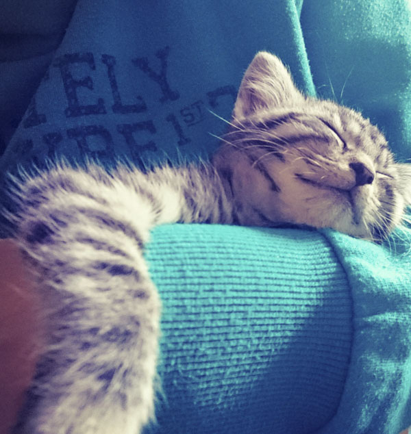 Tabby kitten curled up in person's arm