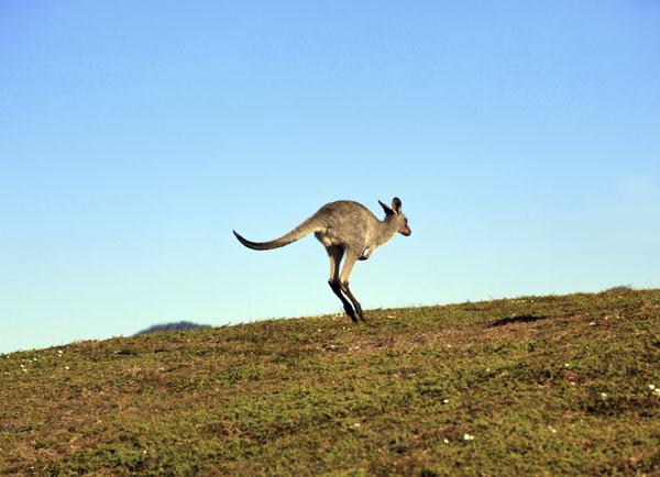 Kangaroo hopping uphill