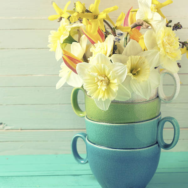 Three cups full of daffodils