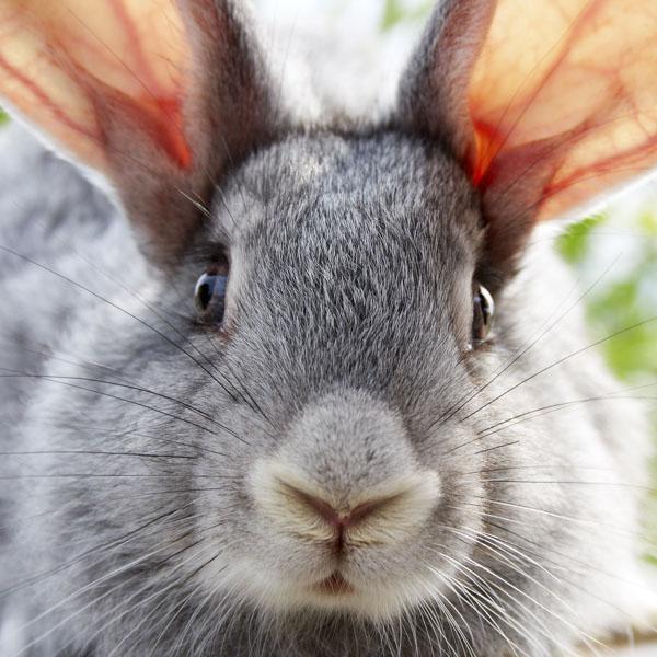 Pink inside of rabbit's ears