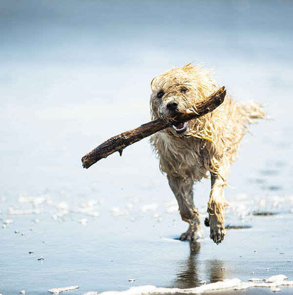 Dog on beach running with stick
