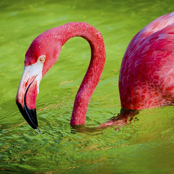 Pink flamingo swimming in water